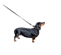 Dachshund on leash isolated on white background