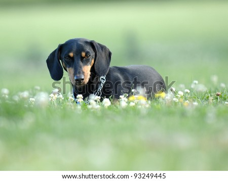 Dachshund on the grass with flowers