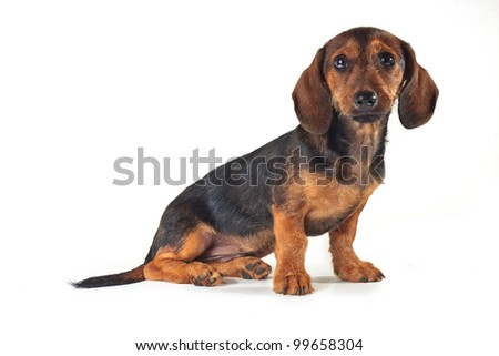 Dachshund pet dog