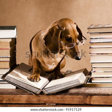 dachshund professor