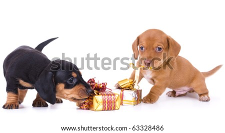dachshund puppies and New Year gift - stock photo