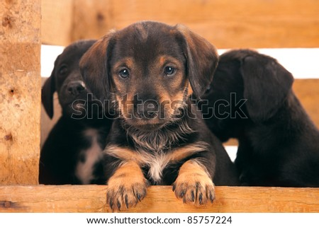 Dachshund puppies sitting in a wooden box