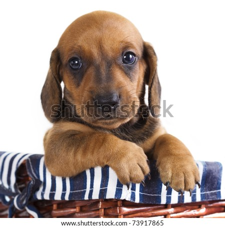 Dachshund Puppies on Dachshund Puppy Stock Photo 73917865   Shutterstock