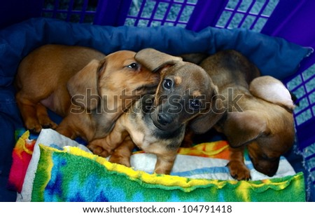 Dachshund Puppy Dogs Three:  Three short-haired miniature red sibling dachshund puppies in a blue basket lined with a tie dyed blanket