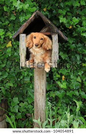 Dachshund puppy in a mailbox. Also available in horizontal.
