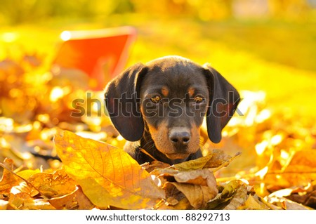 Dachshund puppy in a pile of leaves