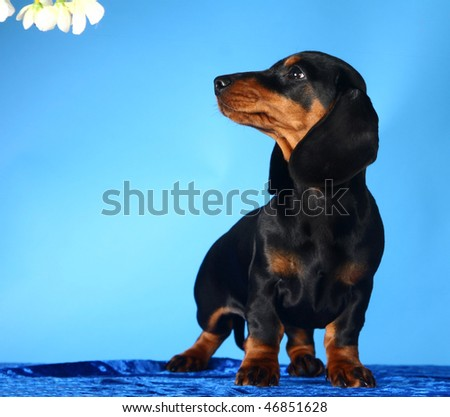 Dachshund puppy in front of blue background