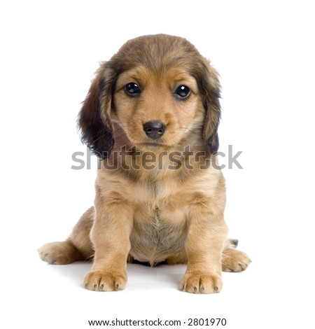 Dachshund puppy in front of white background
