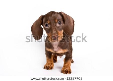 Dachshund puppy isolated on white - stock photo