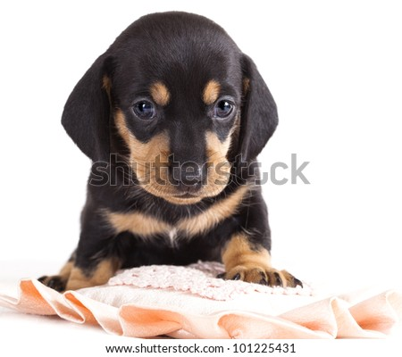 dachshund puppy looking at camera