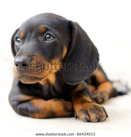 Dachshund puppy looking away