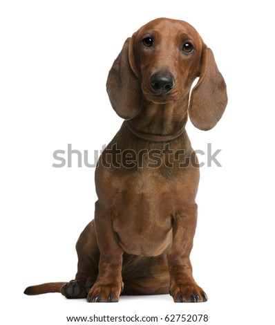Dachshund puppy, 6 months old, sitting in front of white background