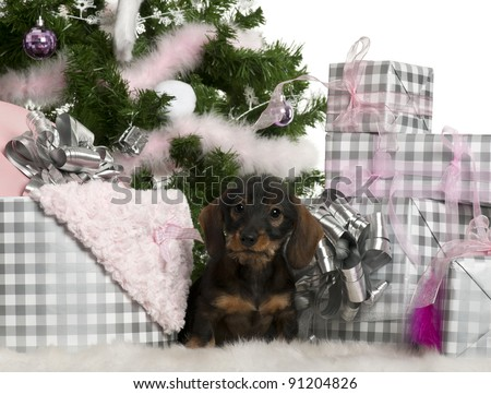 Dachshund puppy, 3 months old, sitting with Christmas tree and gifts in front of white background