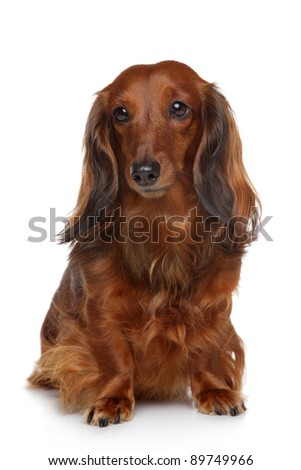 Dachshund puppy sits on a white background - stock photo