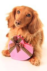Dachshund puppy with a heart shaped box of valentine candy.