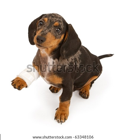 Dachshund puppy with an injured leg that is wrapped in a bandage, Isolated on white