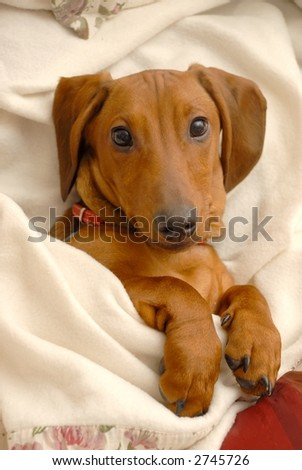 Dachshund relaxing under his blanket