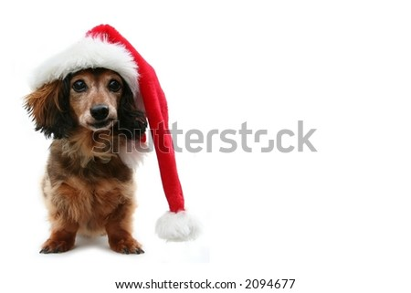 Dachshund santa, funny expression. One in a holiday series featuring this pup.
