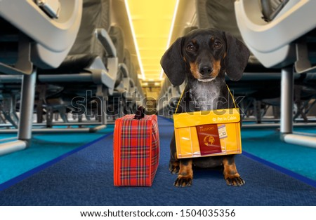 dachshund sausage   dog  wiht luggage bag ready to travel as pet in cabin in plane or airplane as a passanger, for summer vacation holidays #1504035356
