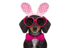dachshund sausage  dog  with bunny easter ears and a pink tie, isolated on white background, wearing funny sunglasses