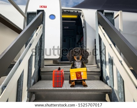 dachshund sausage   dog  with luggage bag ready to travel as pet in cabin in plane or airplane as a passanger, for summer vacation holidays #1525707017