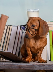 Dachshund sits by the books near the window in glasses and carefully reads the book with his head bowed. Pensive red dog at the window among the books, studio shooting.