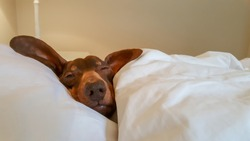 Dachshund snuggled in human bed with one eye open.