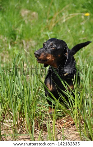Dachshund stands on a green background on the grass. Color fees - tan. The dog barks.