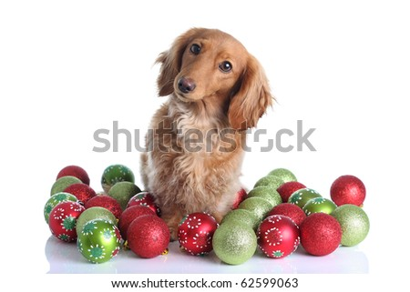 Dachshund surrounded by Christmas ornaments.
