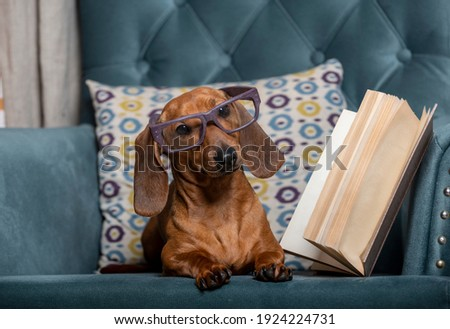 Dachshund, wearing stylish reading glasses, lies in a comfortable chair and looks carefully towards the camera. Studio photo of a dog reading a book. Stock photo ©