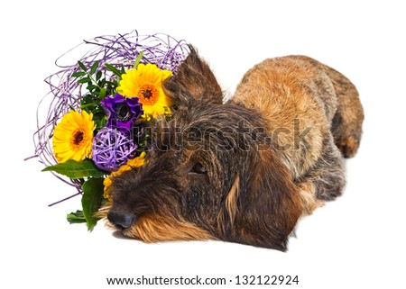dachshund with bouquet #132122924