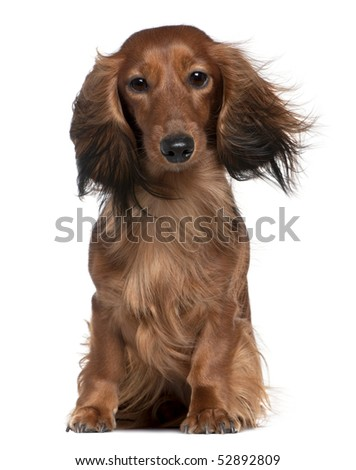 Dachshund with his hair in the wind, 2 years old, sitting in front of white background