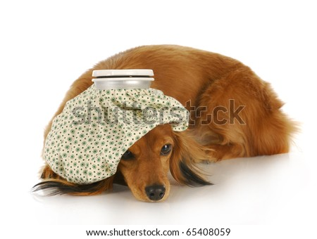 dachshund with hot water bottle on head with reflection on white background