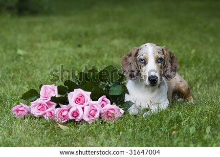 dachshund  with roses