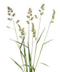 Dactylis glomerata, also known as cock's-foot, orchard grass, or cat grass. Isolated.