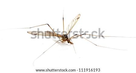 daddy long legs, mosquito nephrotoma scalaris on white background
