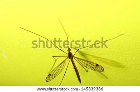 daddy long legs, mosquito nephrotoma scalaris yellow background