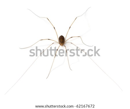 Daddy Long Legs (Opiliones)