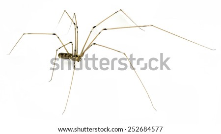 daddy long legs spider  on a white background