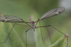 daddy longlegs cranefly, Tipula paludosa