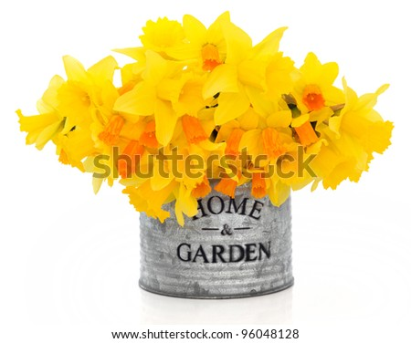Daffodil and narcissus spring flowers in an old metal tin can  with home and garden title isolated over white background.