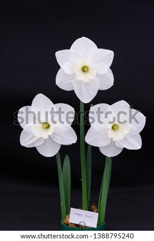 Daffodil 'Cameo King' on a black background #1388795240