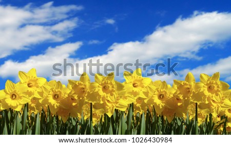 daffodil countryside background