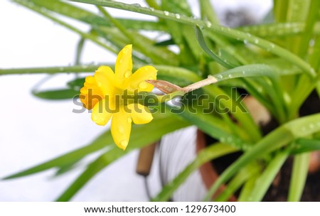 Daffodil flower buds covered raindrops