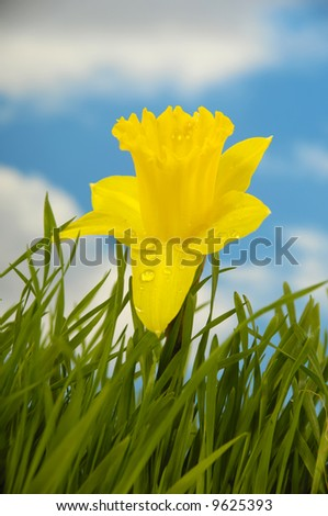 Daffodil flower with water drops in green grass with a blue and cloudy sky.