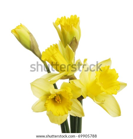 Daffodil flowers and breaking buds isolated against white