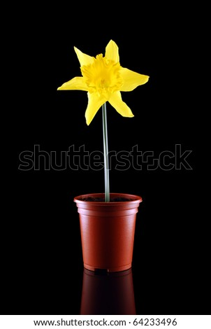Daffodil in pot against black with reflection plus copy space
