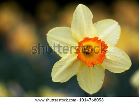daffodil isolated against other ...