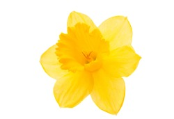 daffodil yellow flower on a white background