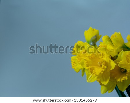 Daffodils against a blue background. Copy space.  #1301455279